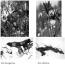 Fenolické sloučeniny rostlin rodu Iris (Iridaceae)