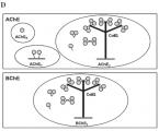 Myši sabsenciou jednotlivých molekulových foriem cholínesteráz