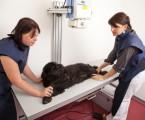 Pět nejčastějších příčin splenomegalie u psů