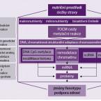 Význam cholinu vnutriční suplementaci utěhotných