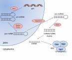 Role mikroRNA u nádorů hlavy a krku se zaměřením na sinonazální karcinom