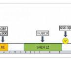 Význam signálnej dráhy MITF  pri regulácii proliferácie a invazivity malígneho  melanómu
