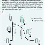 Funkční význam hERG: od fyziologické role po cíl protinádorové terapie