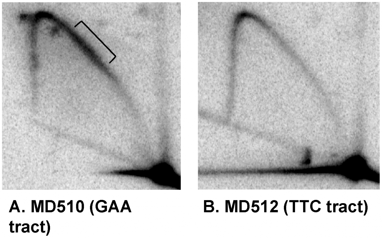 Two-dimensional gel analysis of replication forks stalled by the (GAA)<sub>230</sub> tracts.