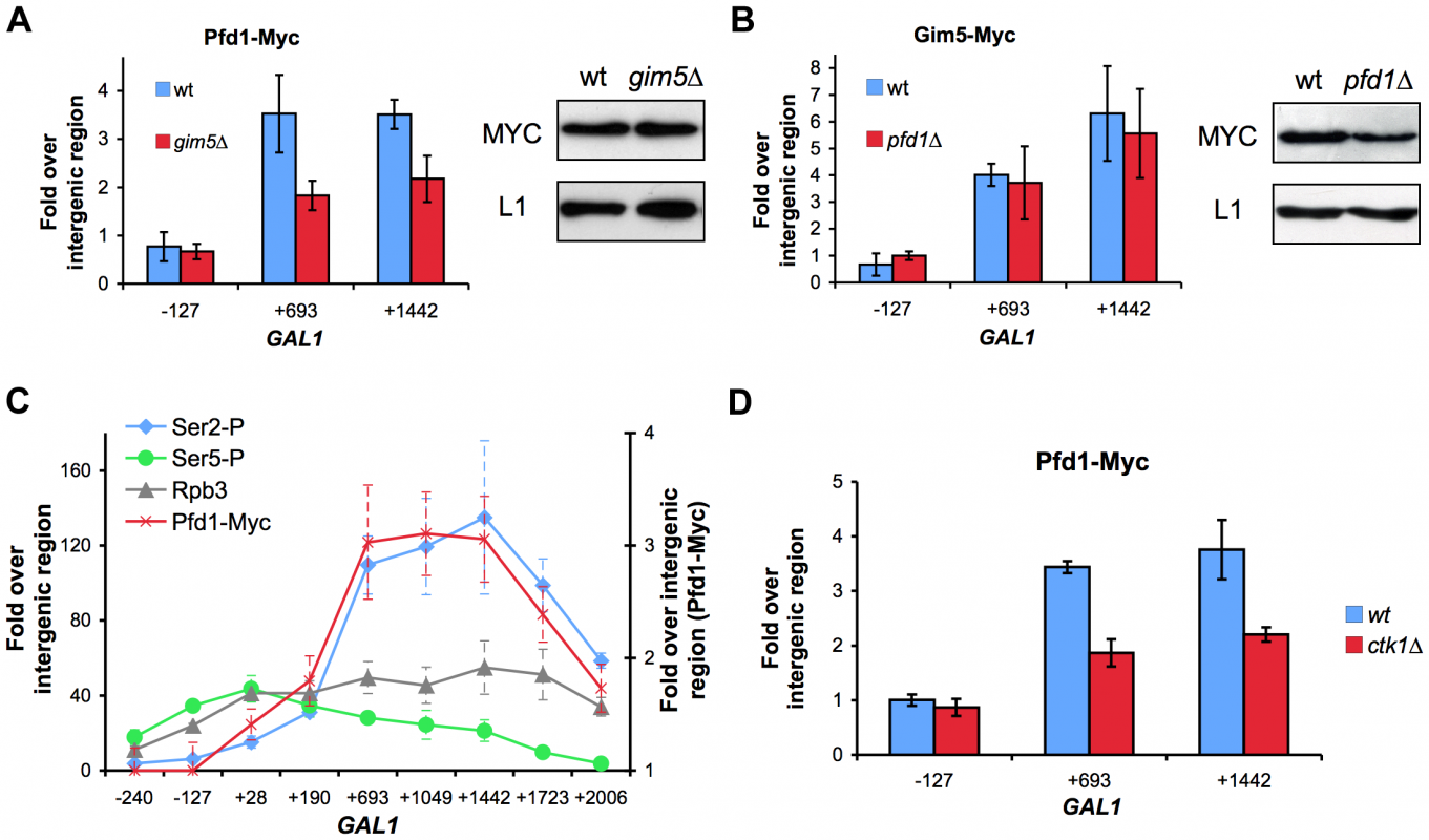 Recruitment of prefoldin to transcribed genes depends on the integrity of the complex and is favored by Ser2-phosphorylation of the Rpb1 CTD.
