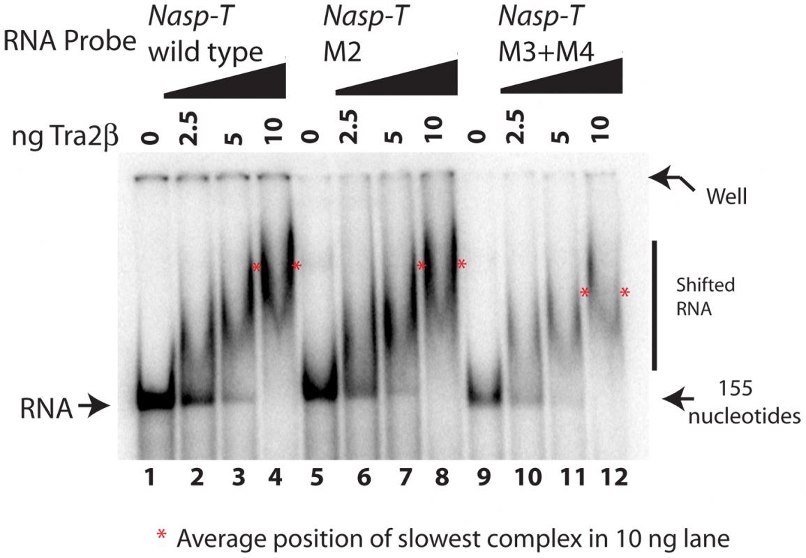 Point mutants in the Nasp-T exon within candidate Tra2β binding sites are still able to bind to Tra2β.