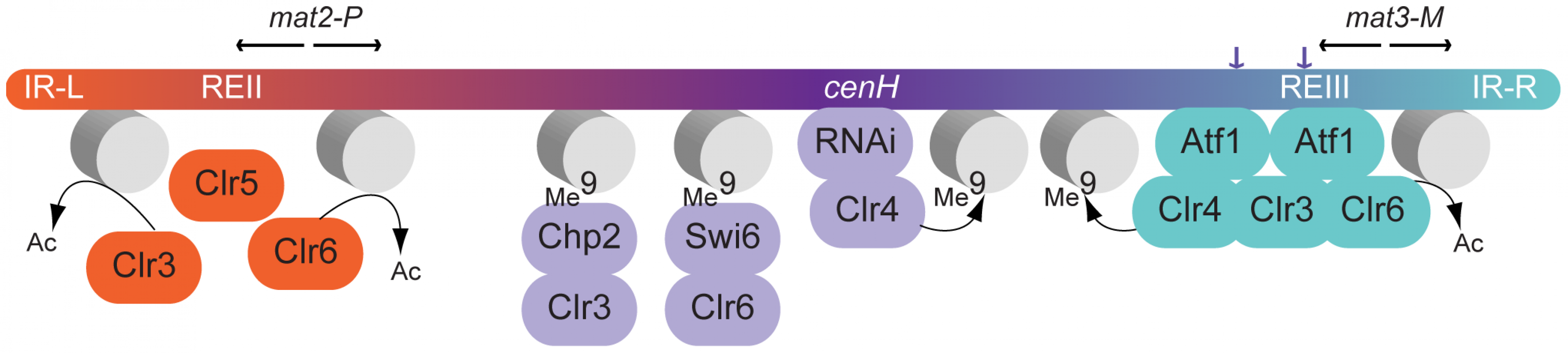Model for gene silencing in the mating-type region.