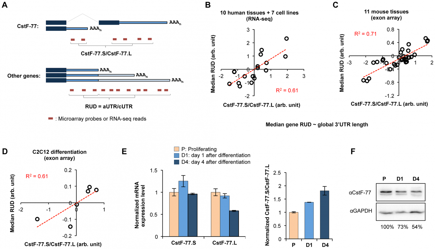 Intronic C/P of human and mouse CstF-77 genes correlates with the global 3′UTR length.