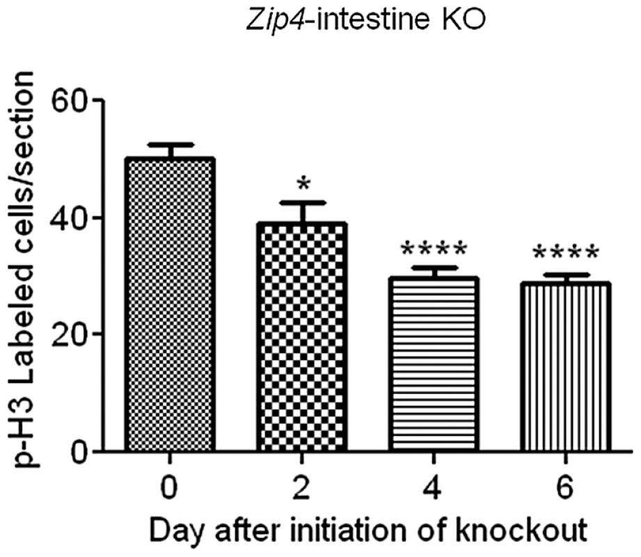 Quantification of phosphorylated-histone H3 labeled cells in sections of small intestine after intestine-specific deletion of <i>Zip4</i>.