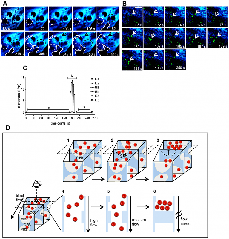 Trophoblast topology dynamics transiently remodels maternal blood spaces.