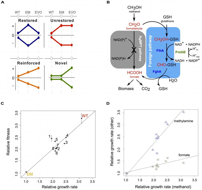 Acclimation and adaptation in an experimentally engineered and evolved bacterium.