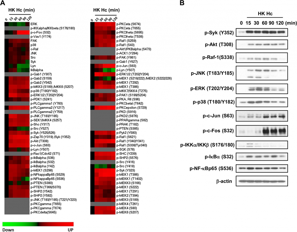 Micro-Western Array to screen for signaling molecules involved in <i>H</i>. <i>capsulatum</i>-induced macrophage response.
