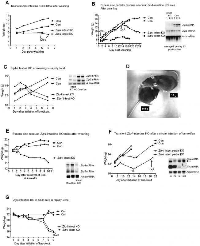 The intestine <i>Zip4</i> gene controls growth and viability, but knockout mice can be partially rescued by nursing or excess dietary zinc.