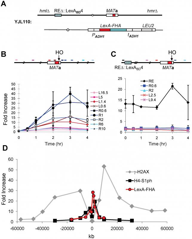 The FHA Domain of Fkh1 Physically Interacts with the <i>MAT</i> after DSB Induction.