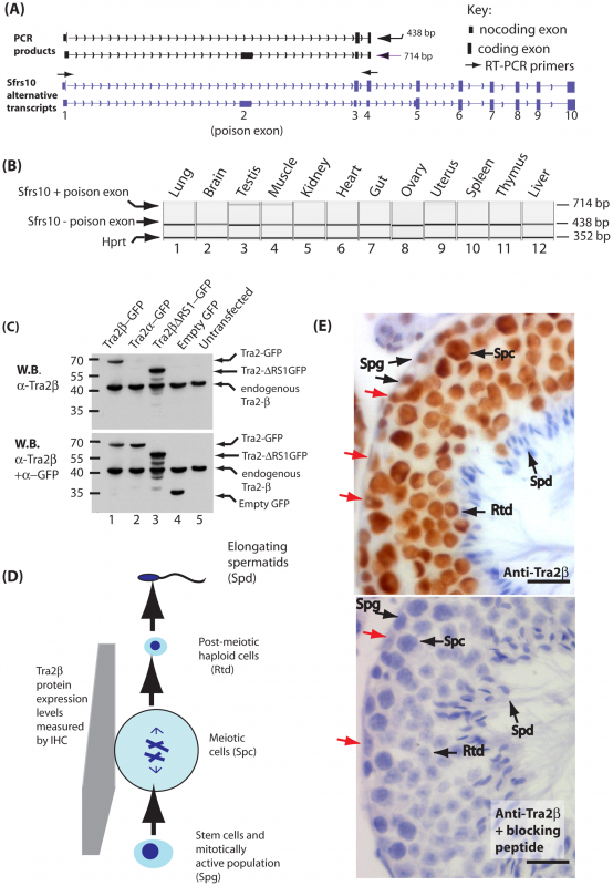Tra2β is a nuclear protein highly expressed in mouse germ cells.