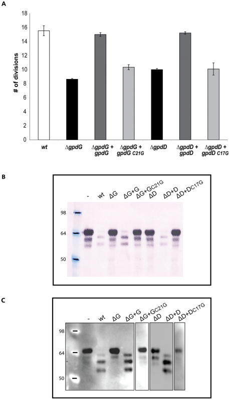 Lipid modification of GpdD and GpdG is essential for their activity.