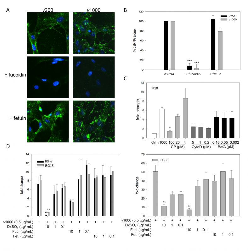SR-As mediate viral dsRNA binding, entry and resulting ISG induction in MEFs using a mechanism dependent on clathrin-mediated endocytosis.