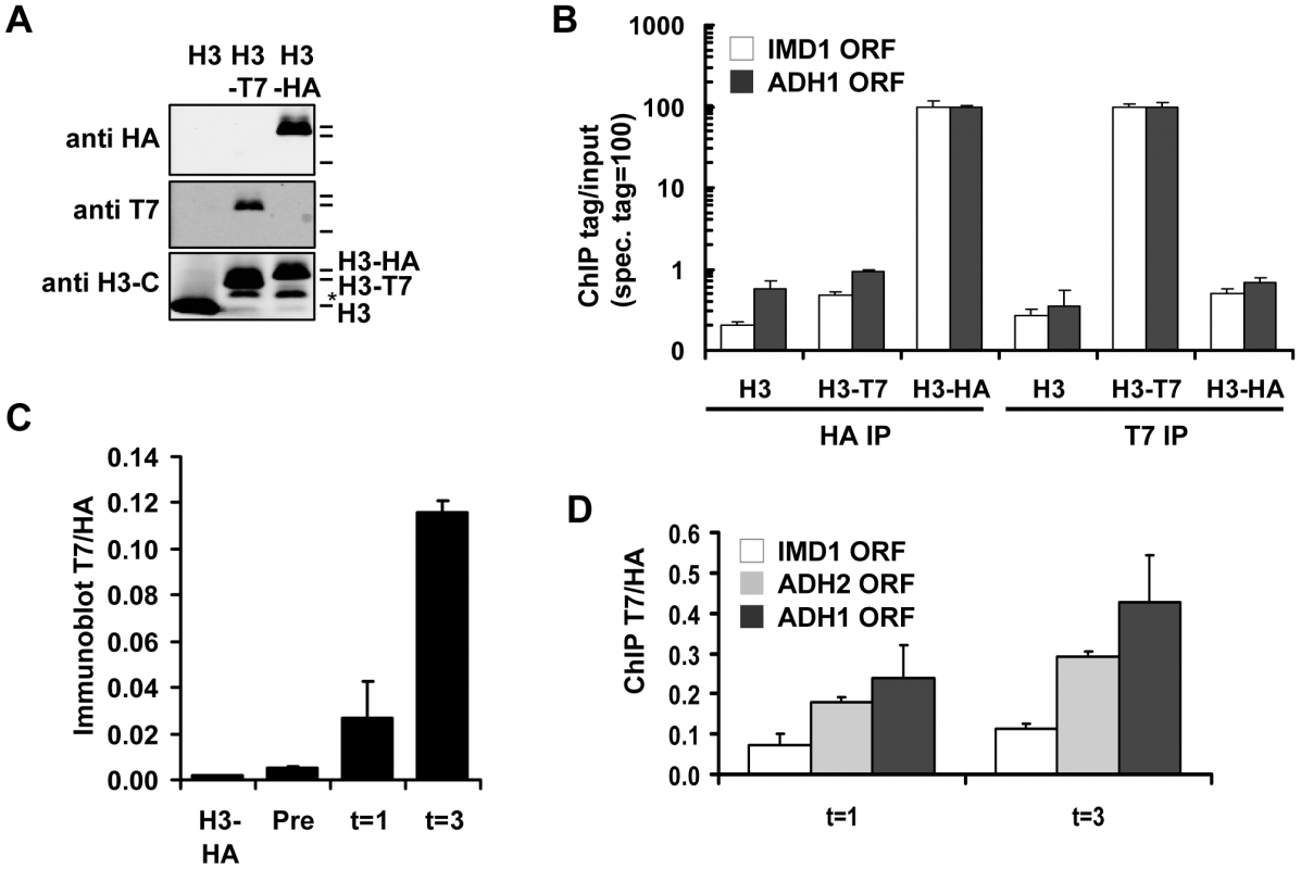 Measuring histone turnover by ChIP and immunoblot.
