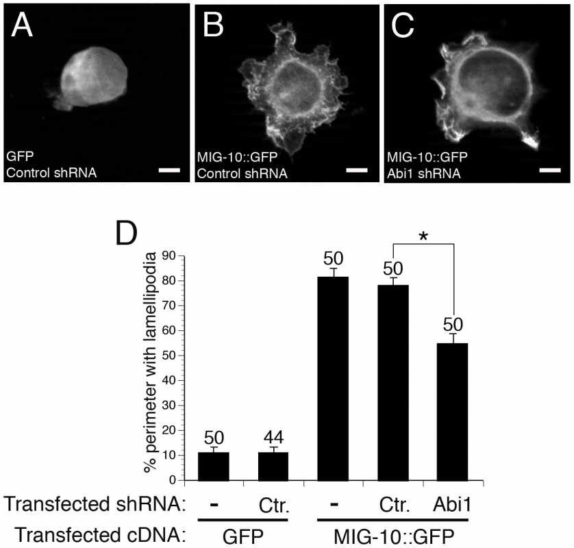 ABI-1 mediates the lamellipodia-forming activity of MIG-10 in cultured HEK293 cells.