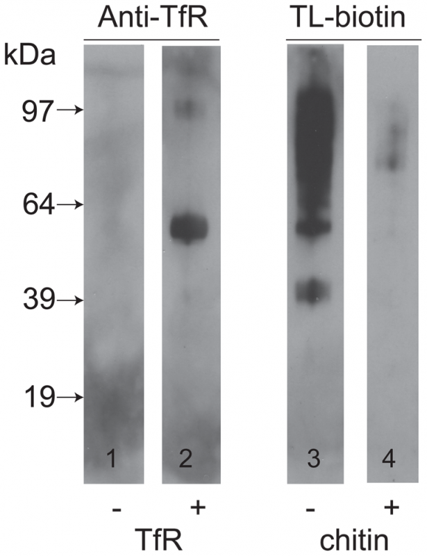 TfR does not bind directly to tomato lectin but binds to other glycoproteins.