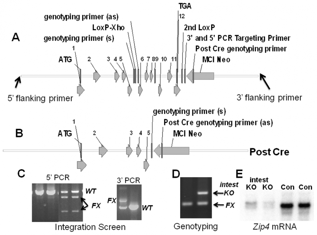 Structures of the pre- and post-Cre floxed mouse <i>Zip4</i> gene and integration and genotyping screen designs.