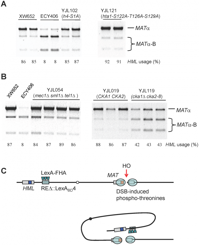 Roles of Histones and Kinases in Donor Preference and a Model for FHA-Directed Regulation.