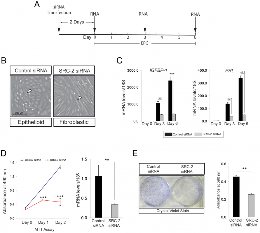 Proliferation of hESCs requires SRC-2 during the early stages of the decidual progression program.
