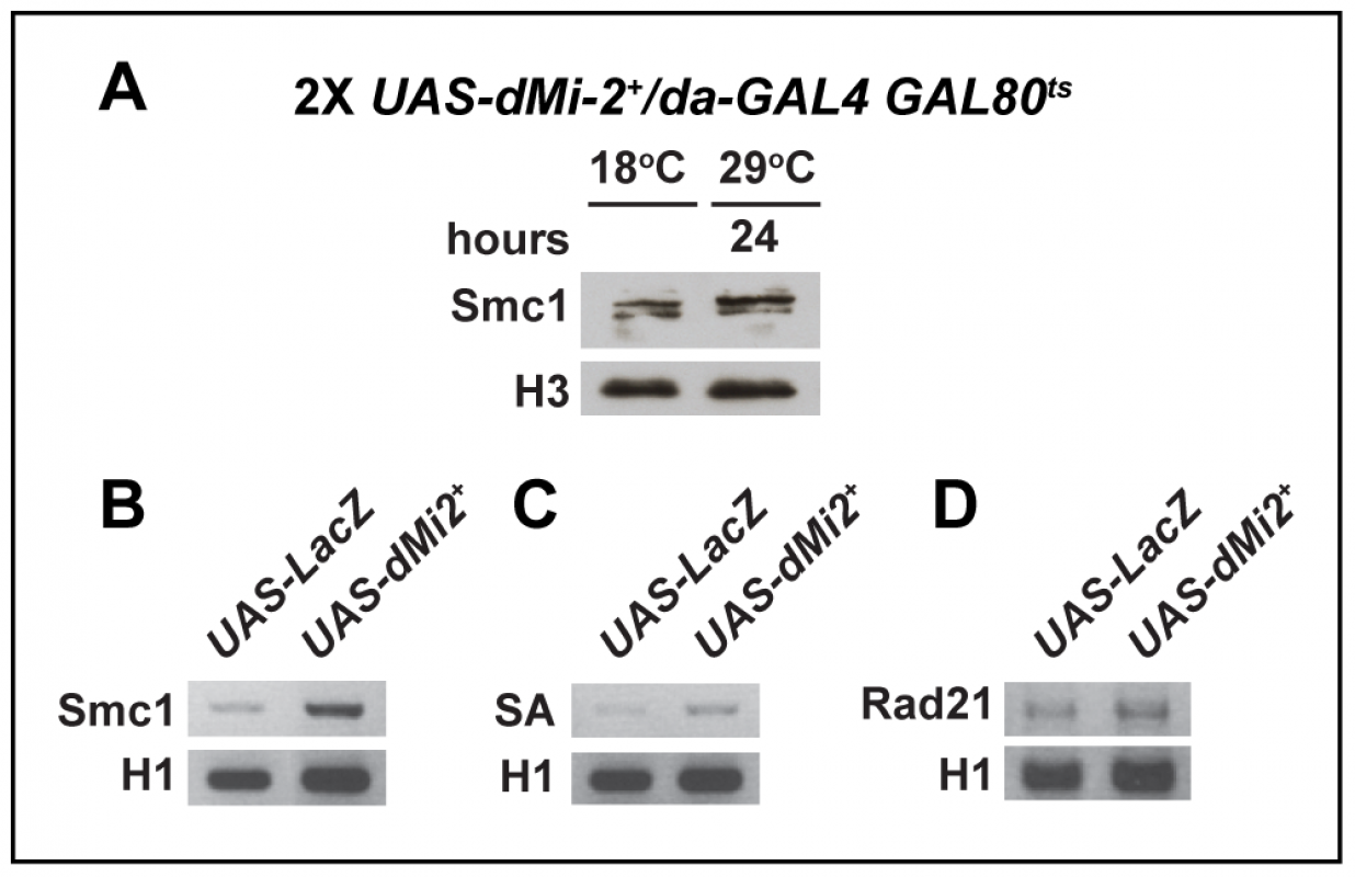 The over-expression of dMi-2 does not decrease cohesin levels.