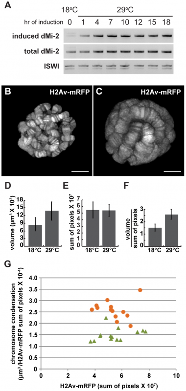 dMi-2 triggers rapid changes in chromosome structure without altering DNA replication.
