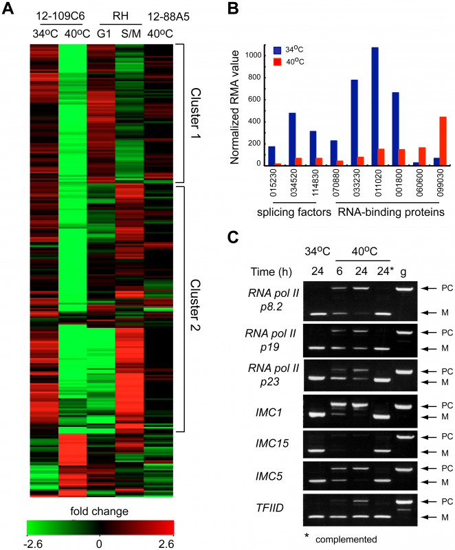 Loss of TgRRM1 in mutant 12-109C6 leads to significant downregulation of mRNAs as the result of mis-splicing.