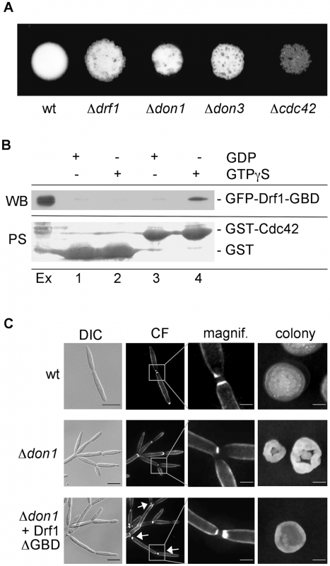 Drf1 is an effector of Cdc42.