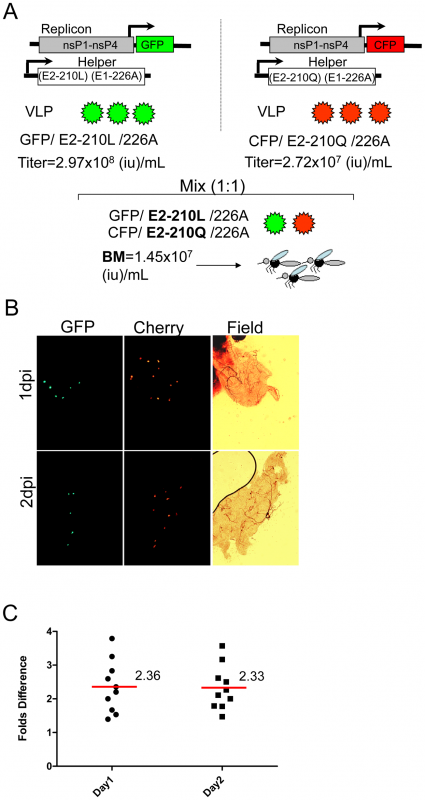 Effect of the E2-L210Q substitution, expressed in the background of E1-226A, on infectivity of CHIKV VLPs for midguts of <i>A. albopictus</i> (Thailand).