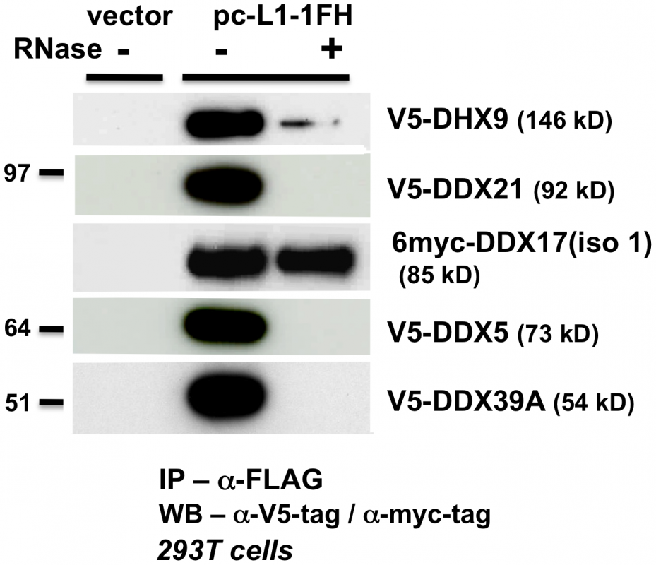 ATP-dependent RNA helicases other than MOV10 also associate with L1 RNPs expressed from pc-L1-1FH.