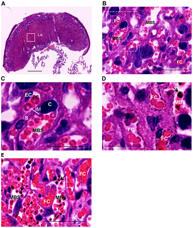 Labyrinth structure in non-infected (A–C) and infected placenta (D,E) at G18.