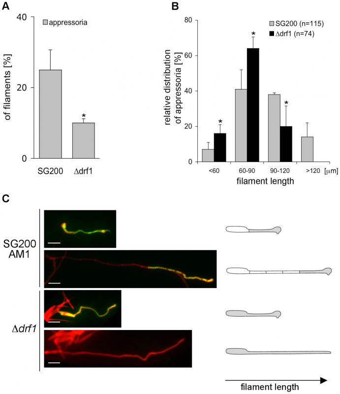 <i>drf1</i> mutants are affected in appressoria formation in long filaments.