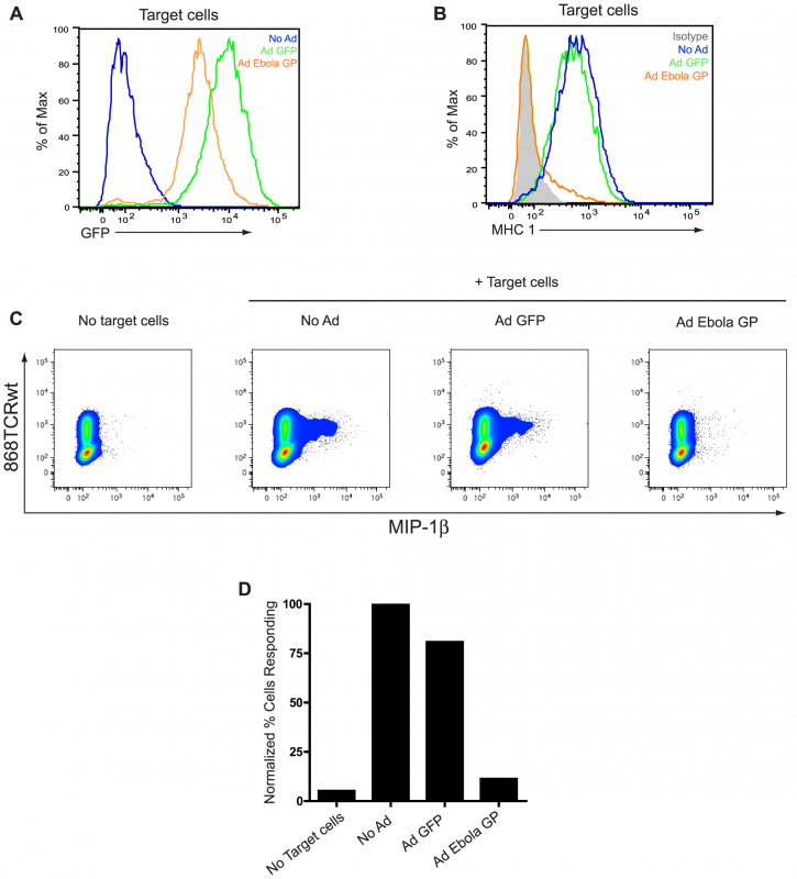EBOV GP-induced disruption of MHC1 prevents activation of CD8<sup>+</sup> T cells.