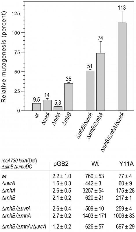 Effect of deleting <i>rnhA</i>, <i>rnhB</i> and/or <i>uvrA</i> alone, or in various combinations, on the extent of <i>umuC</i>_Y11A-dependent spontaneous mutagenesis in <i>recA730 lexA</i>(Def) Δ<i>umuDC</i> Δ<i>dinB</i> strains.