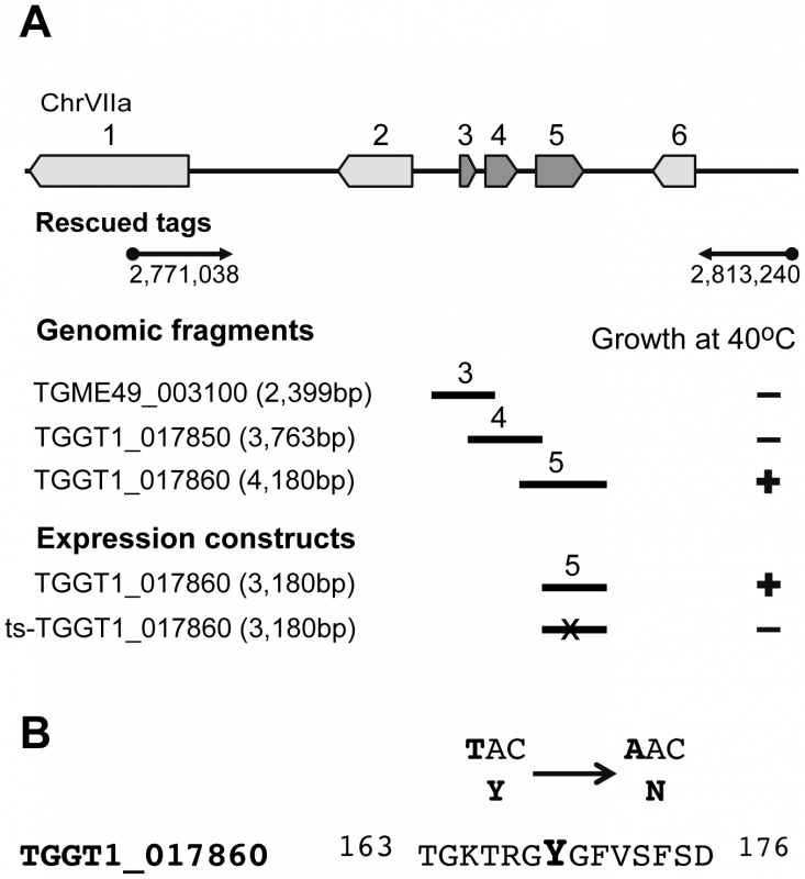 Mutation in a RRM domain-containing protein is responsible for conditional arrest of mutant 12-109C6.