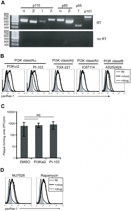 p110α PI3K is specifically involved in the induction of RAE-1 in fibroblasts infected with MCMV.