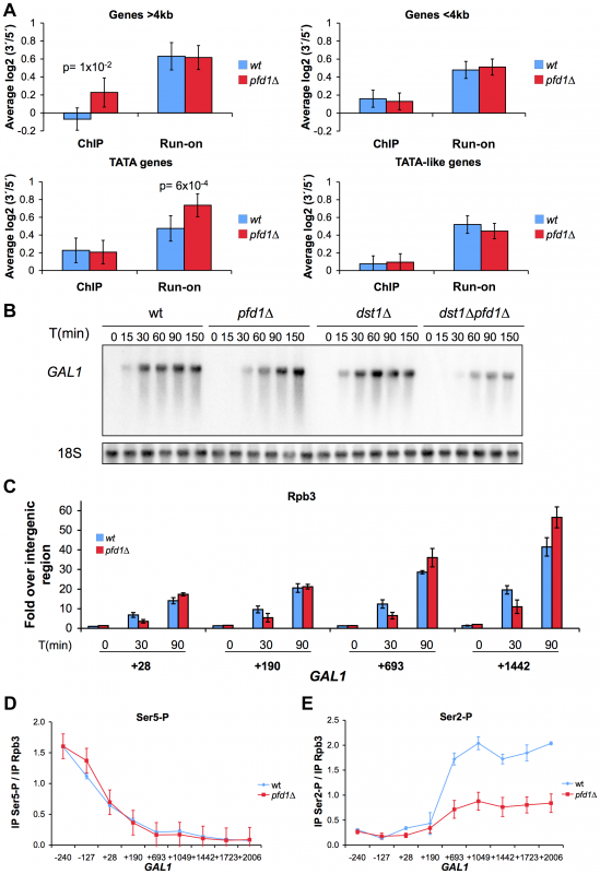 The absence of Pfd1 causes alterations in the intragenic distribution of RNA polymerase II.