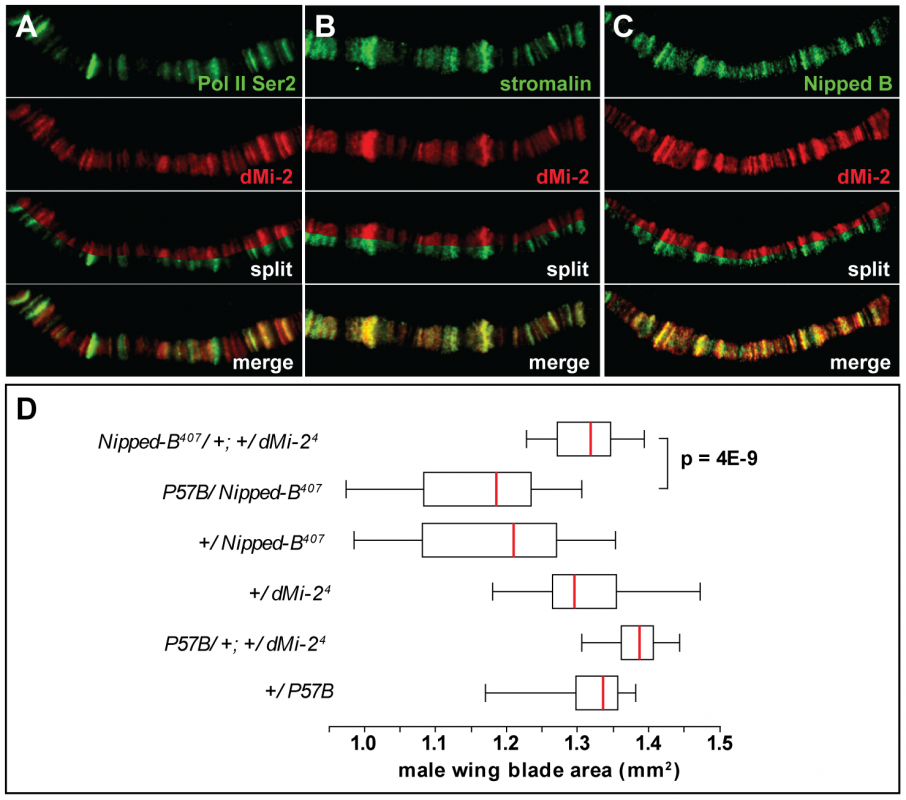 dMi-2 colocalizes with cohesin.