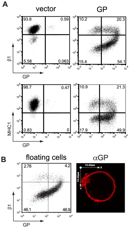 Transient expression of the EBOV glycoprotein results in loss of surface staining of β1 integrin and MHC1.