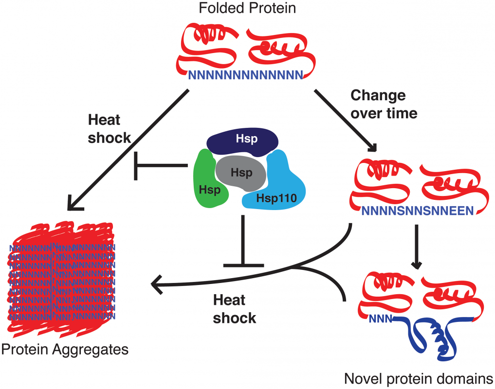 Proposed role of <i>P. falciparum</i> Hsp110 and other chaperones as capacitors for evolutionary change.