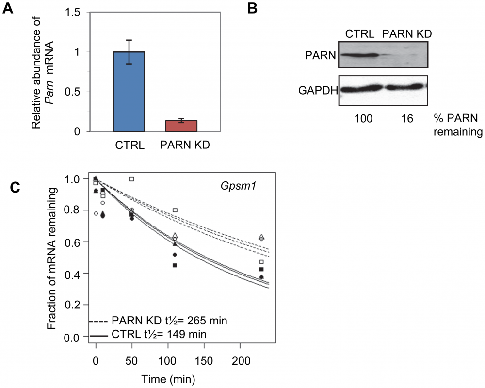 Determination of global mRNA decay rates in PARN knockdown cells.