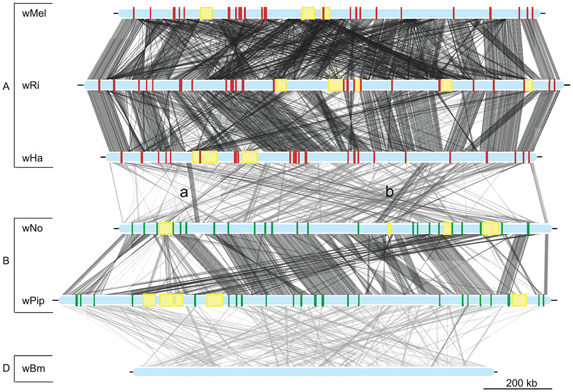 Genomic overview of the similarity between completely sequenced <i>Wolbachia</i> strains.