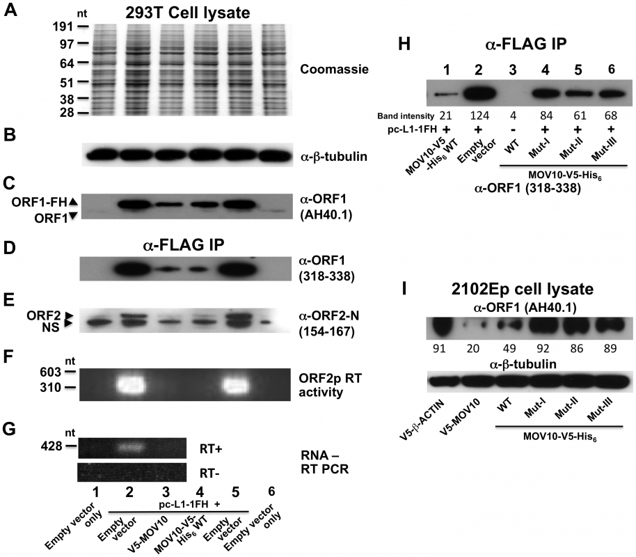 MOV10 inhibits exogenous L1 RNP expression in cells.