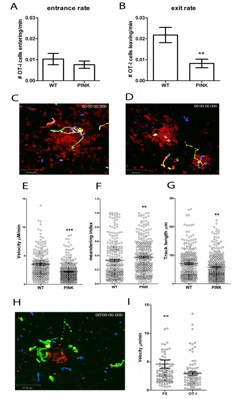 CD8<sup>+</sup> T cell dynamics in the liver following <i>L. donovani</i> infection.