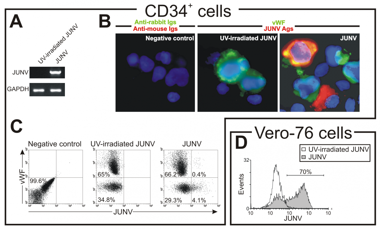 JUNV replication in CD34<sup>+</sup> cells.