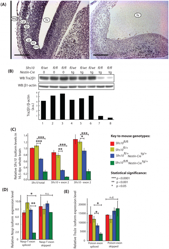 Tra2β protein levels are drastically reduced in the brains of neuronal specific <i>Sfrs10</i> knockout mice and correlate with defects in splicing of the <i>Nasp-T</i> cassette and <i>Tra2a</i> poison exon.