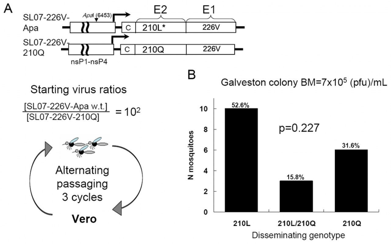 Effect of the E2-L210Q substitution on positive selection of a mutant CHIKV strain within a wild-type population during alternating passaging in <i>A. albopictus</i> mosquitoes and Vero cells.